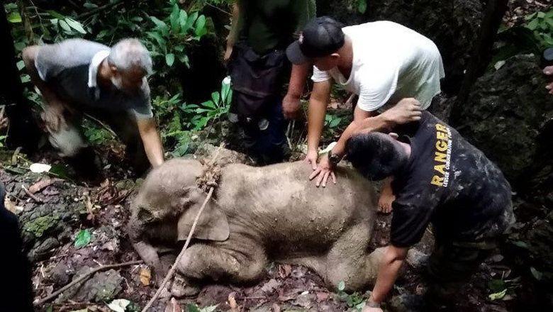 Tim konservasi sumber daya alam mengevakuasi anak gajah yang terkena jerat di hutan kawasan pedalaman Aceh Timur, Selasa (18/6/2019)