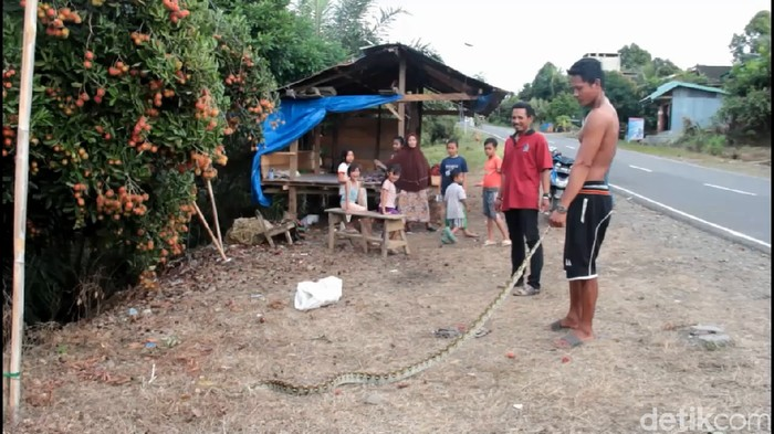 Ular sanca sepanjang 3 meter ditangkap di Mamuju Tengah, Sulbar, karena meresahkan warga (Abdy Febriady/detikcom)
