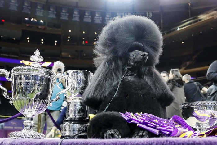A komondor competes during 144th Westminster Kennel Club dog show, Tuesday, Feb. 11, 2020, in New York. (AP Photo/John Minchillo)