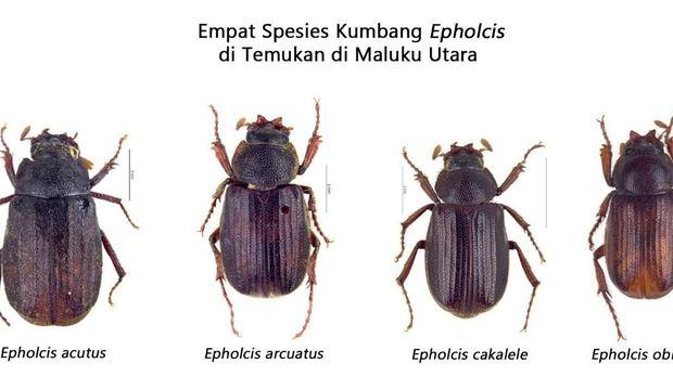 4 Kumbang Spesies Baru Ditemukan di Maluku Utara, Ini Penampakannya