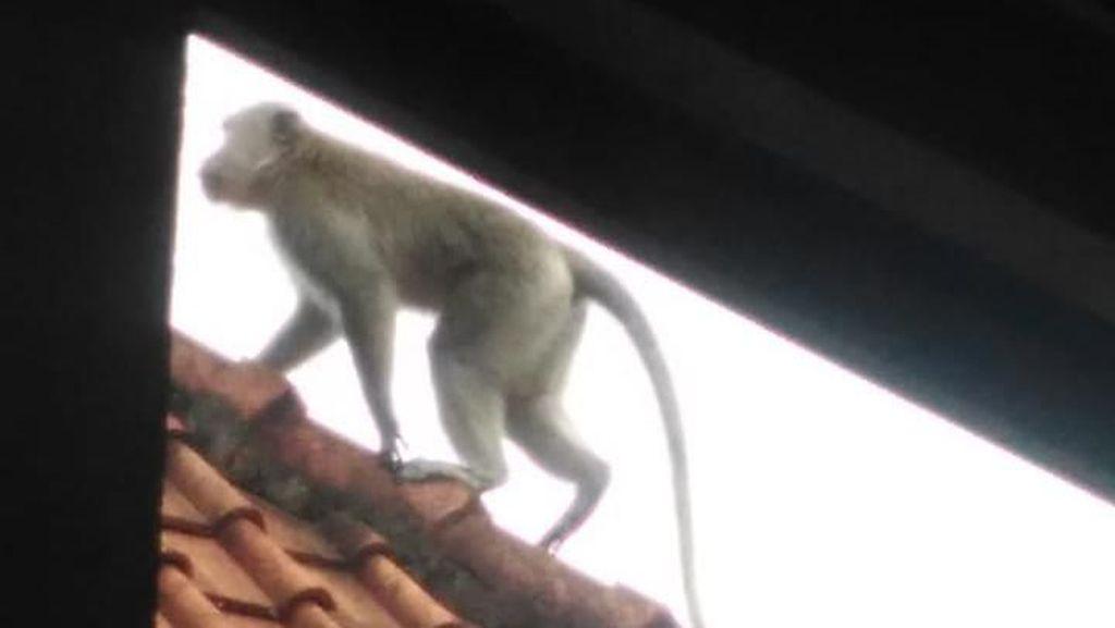 Monyet Liar Muncul Bikin Resah Warga Badung Bali
