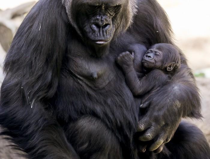 Kebun Binatang Los Angeles, Amerika Serikat, memiliki koleksi baru yakni bayo gorila. Bayi gorila ini merupakan yang pertama lahir sejak 20 tahun terakhir.