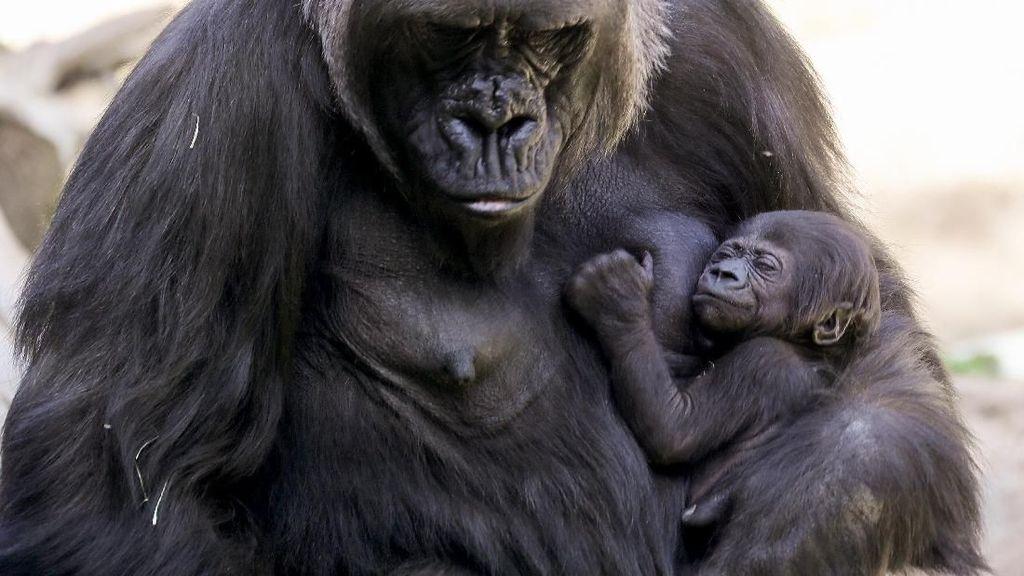 Bayi Gorila Pertama Lahir di Kebun Binatang Los Angeles