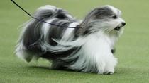 Menggemaskan! Begini Aksi Lucu Anjing saat Ikut Kontes