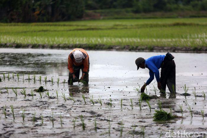 Sejumlah petani menanam padi di Desa Buni Bakti, Kabupaten Bekasi, Jawa Barat, Kamis (13/2/2020).