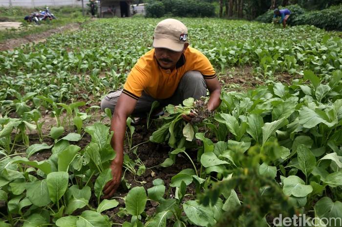 Sejumlah petani tengah bersuka cita saat panen sawi di kawasan Kedung Jaya, Babelan, Bekasi, Kamis (13/2). Yuk, intip foto-fotonya.