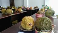 Luuurrr... Purworejo Bakal Gelar Gerebek Durian 3 Hari!