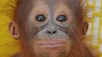 Kabar Gembira, Orang Utan Sumatera Lahir di Kebun Binatang AS