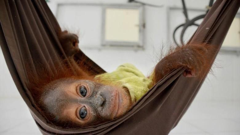 Bayi Orangutan pertama yang diselamatkan di 2020