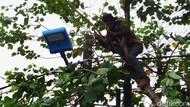 Antisipasi Tumbang, Pohon di Pondok Kopi Dipangkas