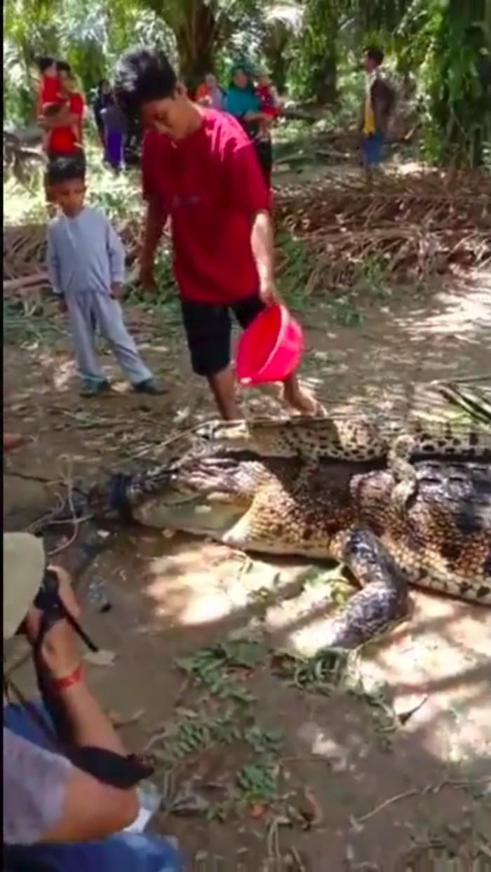 Induk buaya sepanjang 5 meter ditangkap warga Mamuju Tengah karena bikin resah (dok. Istimewa)