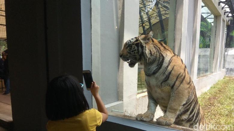 Lembang Park & Zoo, Parongpong, Kabupaten Bandung Barat. memiliki harimau Benggala