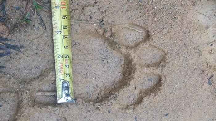 Foto Jejak Harimau di Aceh