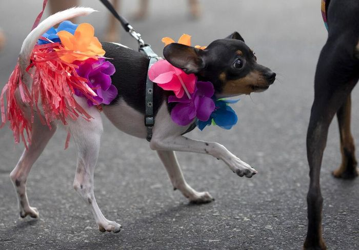 Sejumlah anjing tampil dengan kostum unik nan menarik di karnaval anjing yang diselenggarakan di Brasil. Penasaran seperti apa potretnya? Yuk, lihat.