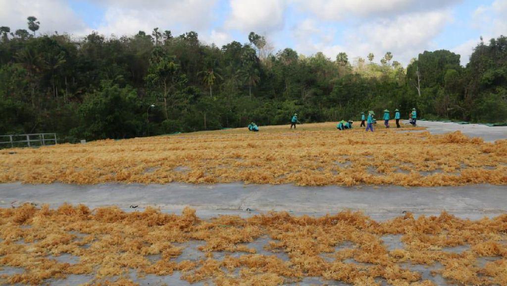 Sumba Timur Jadi Percontohan Industrialisasi Rumput Laut