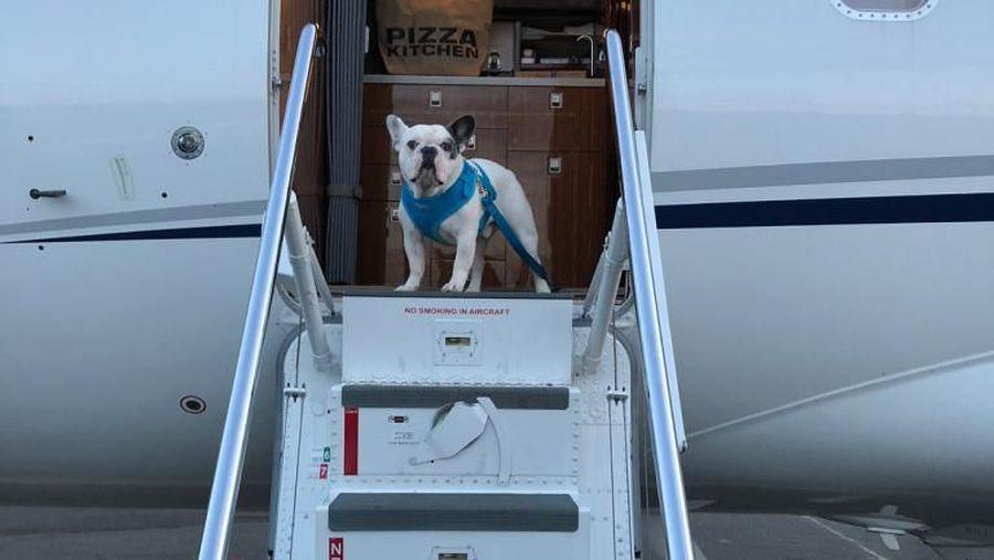 Anjing golden retriever peliharaan Joe Jonas.