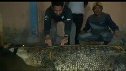Pakai Jaring, Warga Konawe Utara Tangkap Buaya 5 Meter yang Bikin Resah