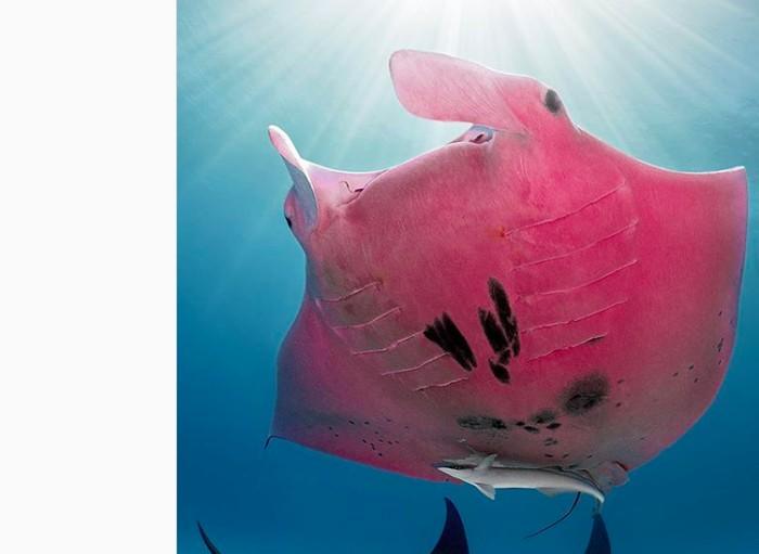 Ikan Pari Pink