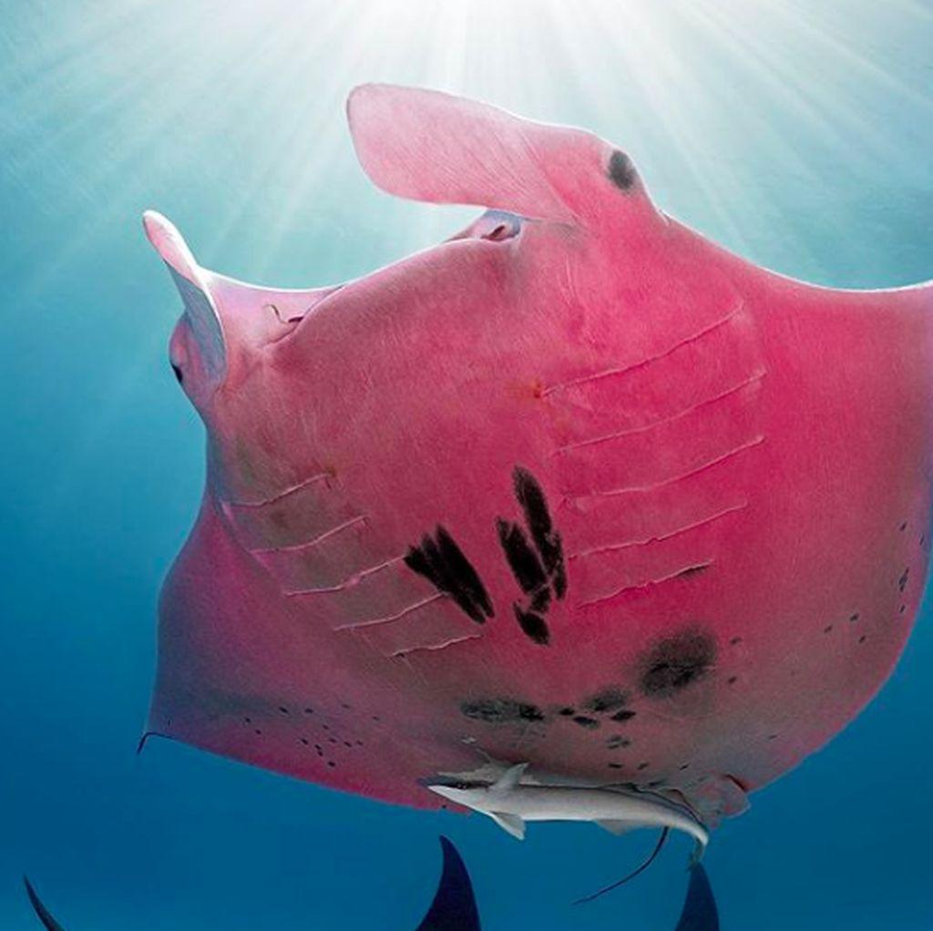 Ajaib, Ikan Pari Warna Pink Ini Satu-satunya di Dunia