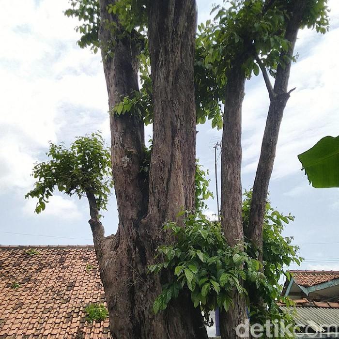 Pohon Mistis di Ciamis