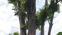 Konon, Tebang Pohon Bungur di Ciamis Ini Bisa Meninggal Mendadak
