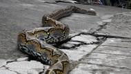 LIPI Ungkap Bahaya Lilitan Ular Sanca yang Tewaskan ABG di Tangsel