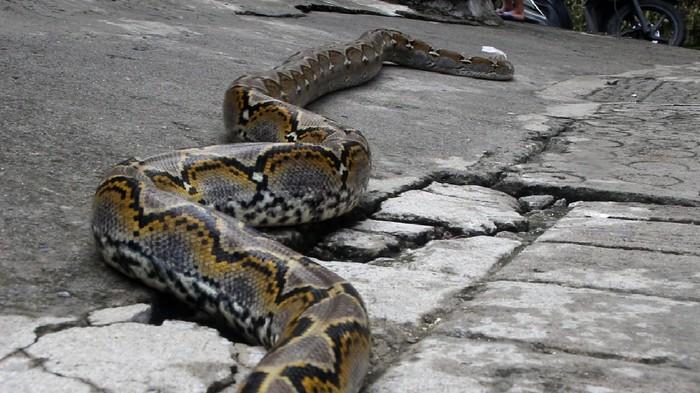 Warga Geddonge, Kelurahan Cappa Galung, Kecamatan Bacukiki Barat, Kota Parepare, dikejutkan dengan penemuan ular sanca. Ular itu sembunyi di plafon rumah warga.