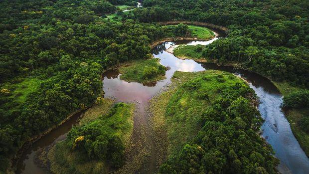 Hutan Amazon memiliki pohon-pohon besar.