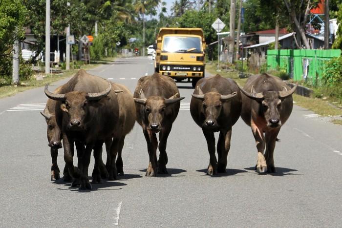 Sekawanan hewan ternak melintasi jalan lintas Nasional Banda Aceh-Tapak Tuan. Keberadaan hewan itu membuat pengendara harus hati-hati saat melintas.
