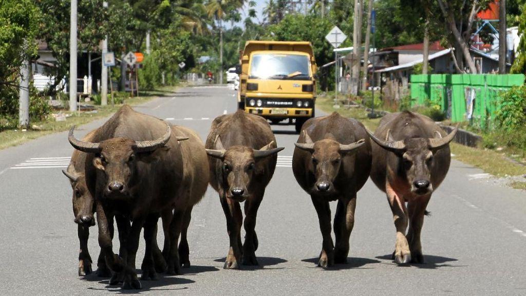 Hati-hati! Ada Hewan Ternak Berkeliaran di Jalanan Aceh Barat