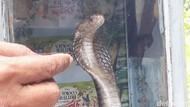 Nggak Kebayang! Ada Ular Kobra di Plafon Rumah Warga Brebes
