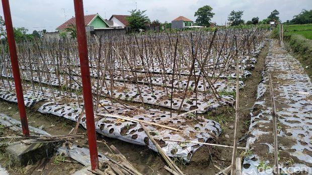 Lahan petani juga turut rusak