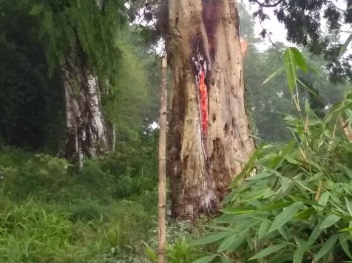 Pohon tua di kompleks pemakaman tetiba terbakar di Pemalang, Kamis (20/2/2020).
