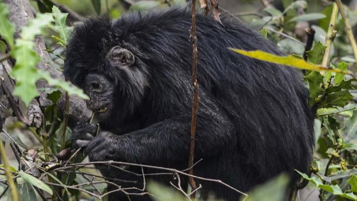 Seekor lutung jawa menggendong anaknya yang bulunya masih berwarna kuning keemasan di lokasi konservasi di kawasan Mangrove Muaragembong, Kabupaten Bekasi, Jawa Barat.