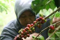 Sejarah tanaman kopi di Indonesia.