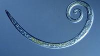 Cacing yang Membeku dari 40 Ribu Tahun Lalu, Hidup Lagi!