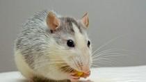 Terekam Kamera! 5 Aksi Menjijikkan Tikus Mencuri Makanan