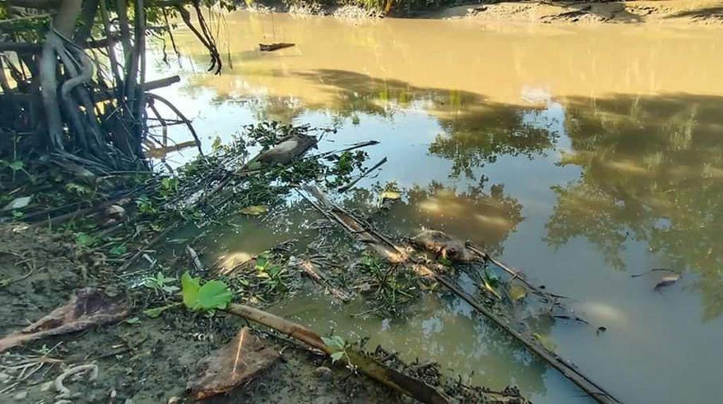Polisi Selidiki Asal Bangkai Babi di Sungai Batu Bara Sumut
