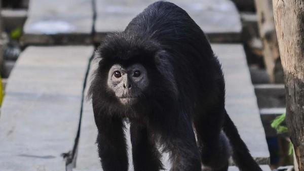 Primata ituturun dari pohon untuk mencari air tawar di bak pada siang hari. (ANTARA FOTO/Fakhri Hermansyah)