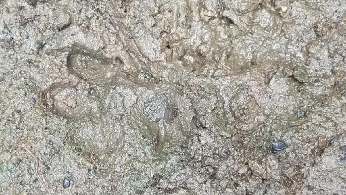 Jejak kucing hutan yang membuat heboh karena diduga jejak harimau (dok Pemkab Musi Banyuasin)