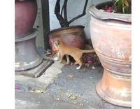 Kocaknya Aksi Kucing Oren Saat Jalan Santai Usai Jajan Cilok