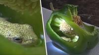 Mau Masak Sayur, Pasangan Ini Malah Temukan Katak di Dalam Paprika