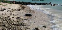 Karena Cuaca Panas, Setengah Juta Kerang di Pantai Ini Jadi Matang