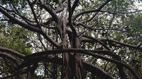 Pohon Beringin Jomblo Terbesar Dunia