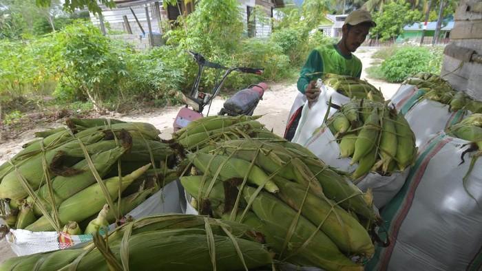 Petani mengemas jagung manis ke dalam karung usai dipetik pada kebun mereka di Kabupaten Sigi, Sulawesi Tengah, Sabtu (22/2/2020). Sebagian petani di Kabupaten Sigi mulai memanen tanaman jagung mereka dan menjadi panen perdana pada tahun ini. Jagung tersebut selanjutnya dijual ke Kota Palu dengan harga Rp200 ribu perkarung. ANTARA FOTO/Mohamad Hamzah/hp.
