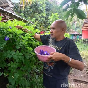 Menjajal Bisnis Teh Ungu dari Bunga Telang