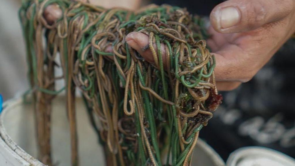 Tradisi Bau Nyale, Ratusan Orang Turun Ke Laut Cari Cacing yang Lezat