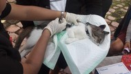 Digendong-Ditunggangi, Ini Cara Kebiri Kucing dan Anjing di Denpasar