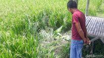 Polisi Cari Kepala Mayat yang Lehernya Terpenggal di Bondowoso