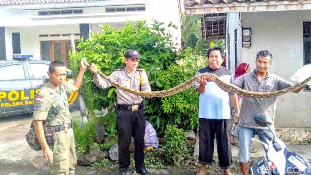 Buat Resah dan Mangsa Ternak Warga, Ular Sanca 3 Meter di Banjar Ditangkap